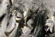 Vinnuligar fiskiveiðiroyndir eftir makreli 2020