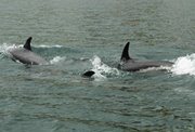 Sea Shepherd activists arrested for disturbing a group of dolphins near Tórshavn