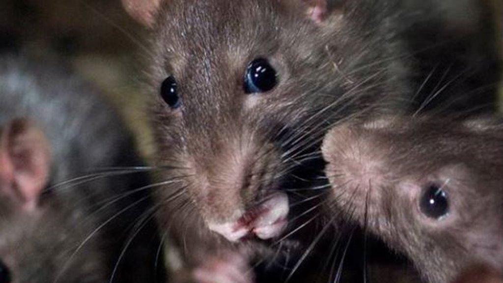 Herða krøvini um fyribyrging og týning av rottu