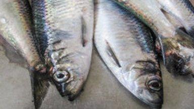 Vinnuligar fiskiveiðiroyndir eftir norðhavssild 2020