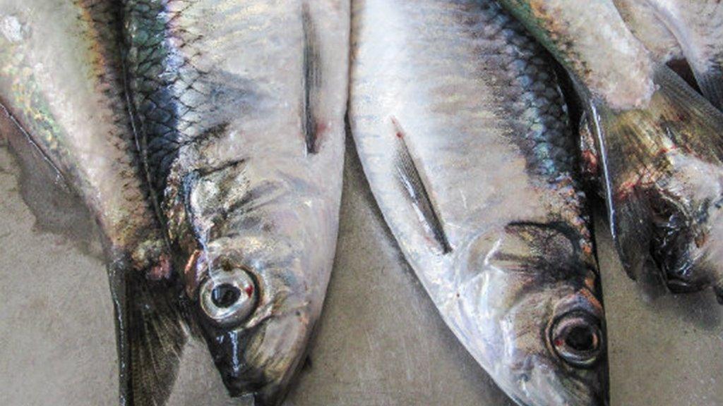 Vinnuligar fiskiroyndir eftir makreli og norðhavssild í 2021